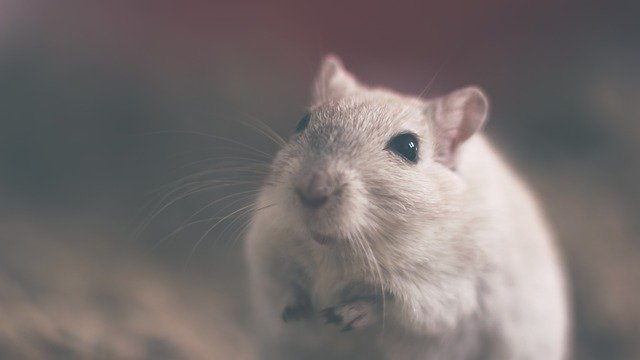 mouse-801843_640